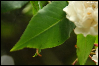 white rose bush leaves