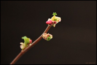 Buds opening up on Red-Flowering Currant