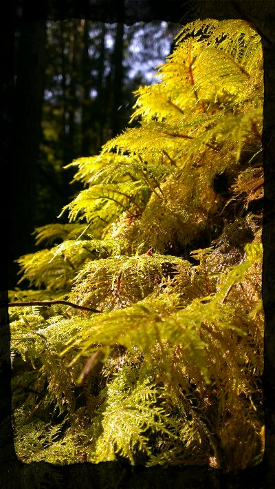 spring in the woods with giant feathery moss