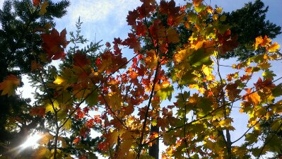 autumn equinox vine maple leaves